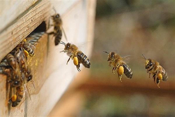 bal arıları ile ilgili görsel sonucu