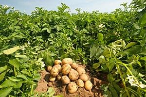 Девять советов по выращиванию картофеля.  Сохраните к себе на стену, чтобы не потерять!  1. Чем меньше.